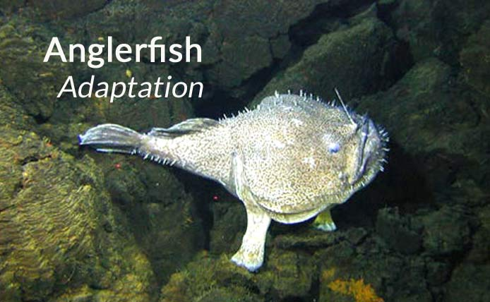 anglerfish adaptations