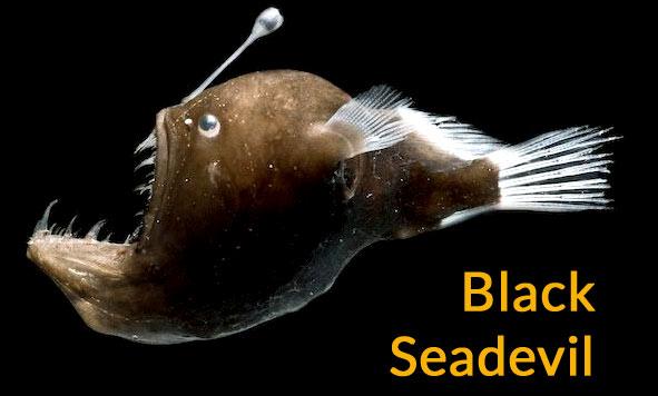 black-seadevil
