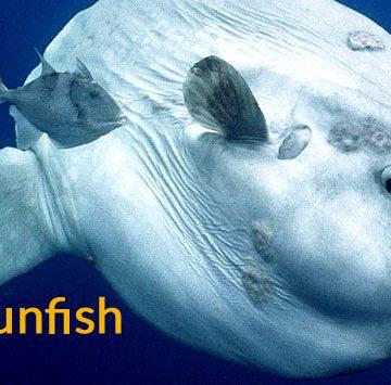 ocaen-sunfish