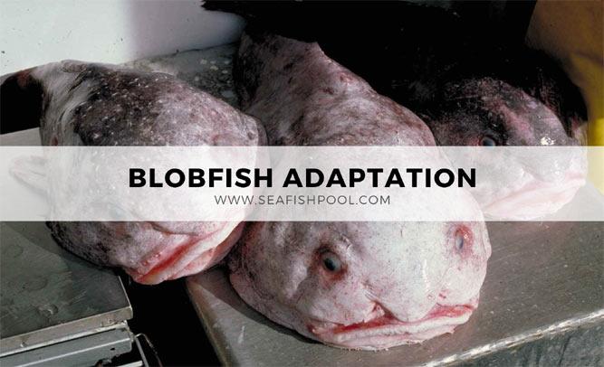blobfish habitat