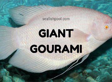 Giant-gourami
