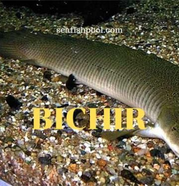 bichir