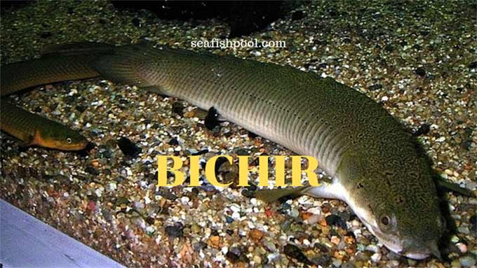 Bichir Family For Sale Size Types Food Seafish