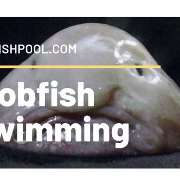 Blobfish Swimming