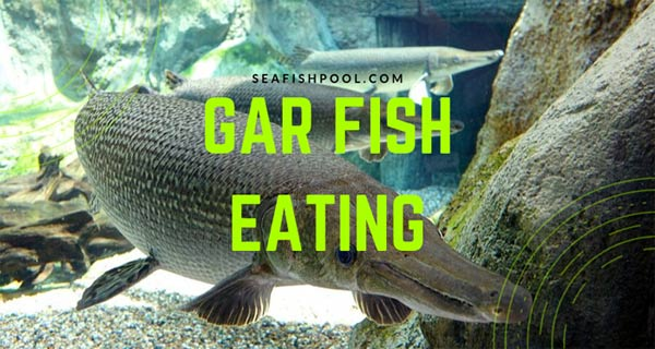 gar-fish-eating