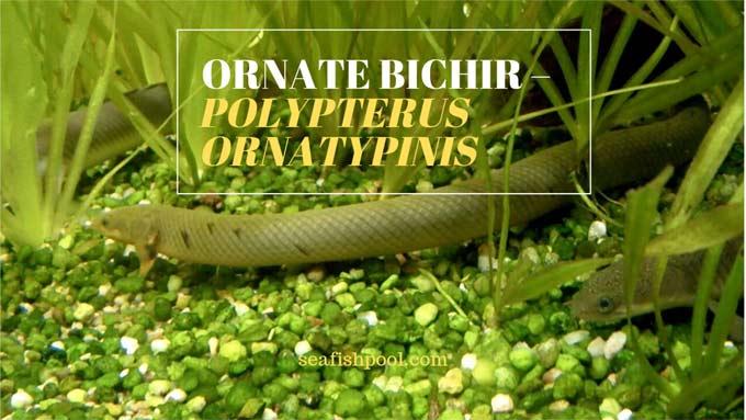 Ornate bichir or Polypterus Ornatipinnis