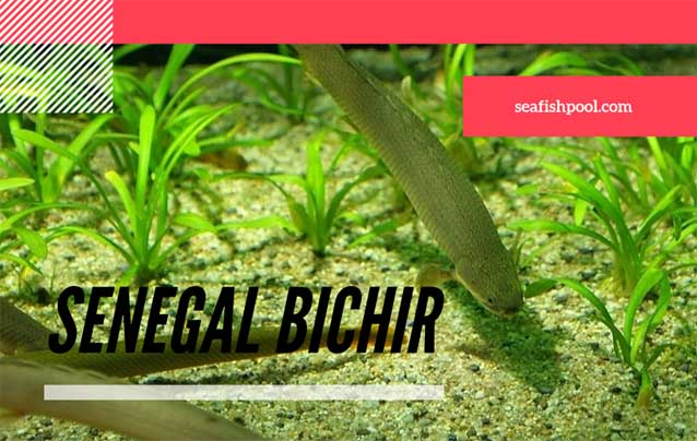 Senegal Bichir What Fish Can Live With A Bichir Seafish