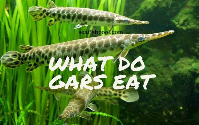 what-do-gars-eat