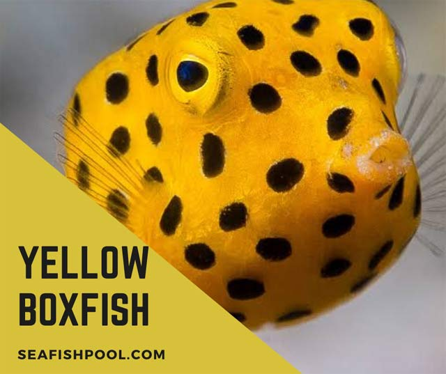 Yellow boxfish