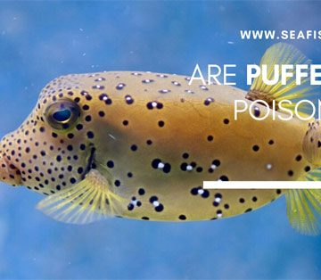 Are Puffer Fish Poisonous?