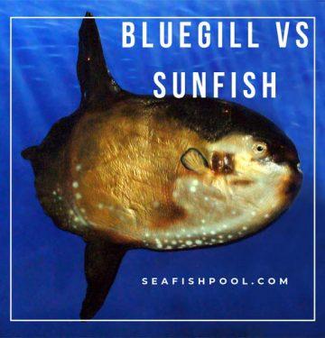 bluegill-vs-sunfish