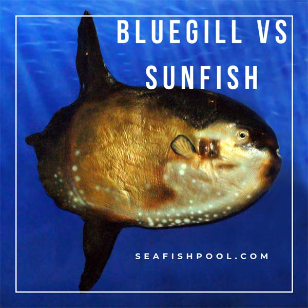 bluegill-vs-sunfish