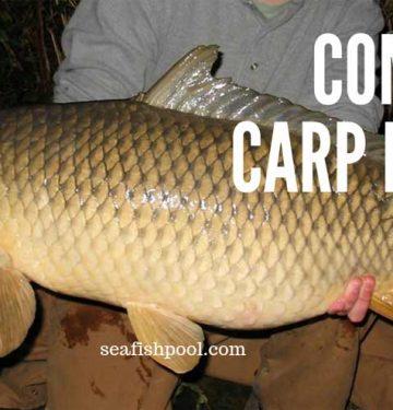 common-carp-facts