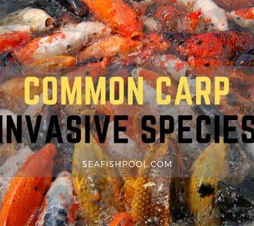 Common Carp Invasive Species