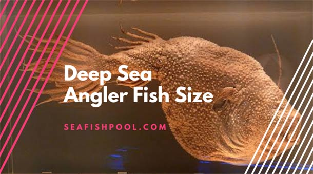 deep sea angler fish size