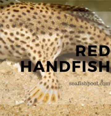 red-handfish