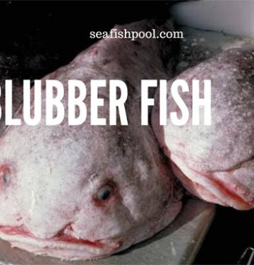 blubber fish