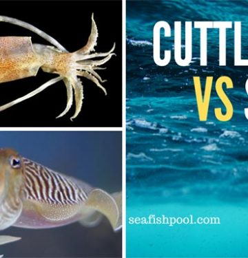 cuttlefish vs squid