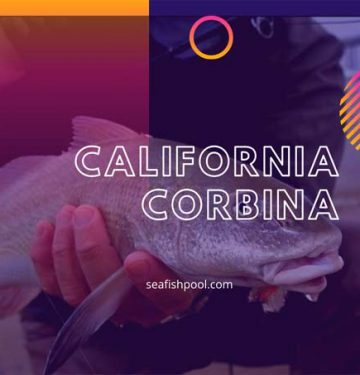 california corbina