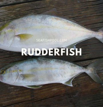 Rudderfish Taste Flavor Recipe
