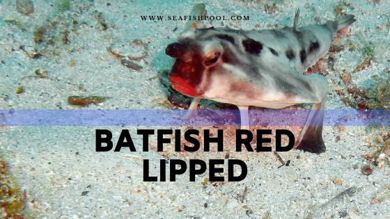 Batfish Red Lipped