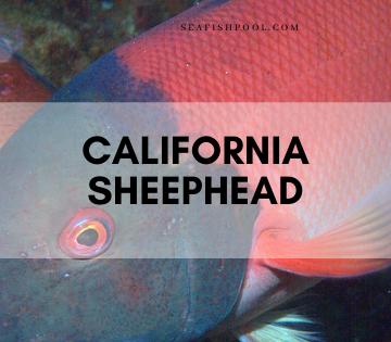 California sheephead