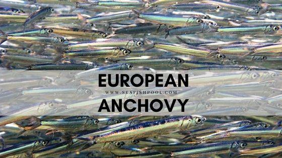 European anchovy
