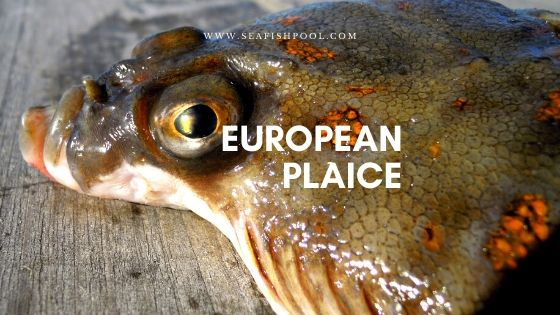 european-plaice