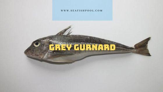Grey gurnard