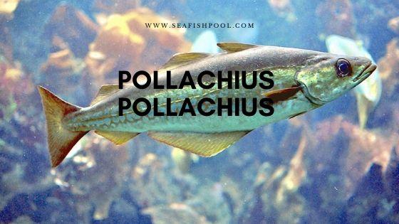Pollachius pollachius