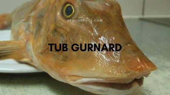 Tub gurnard