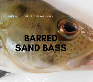 barred sand bass