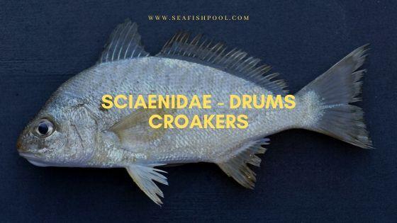 sciaenidae drums croakers