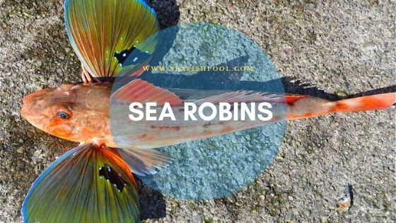sea robins