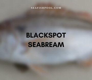 blackspot seabream