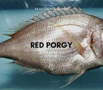 Red porgy