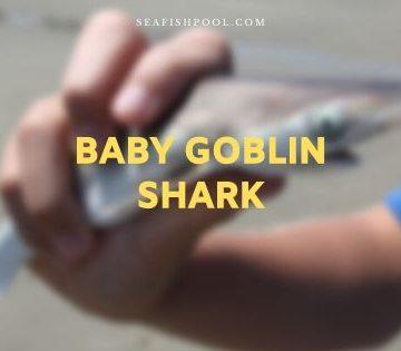 baby goblin shark