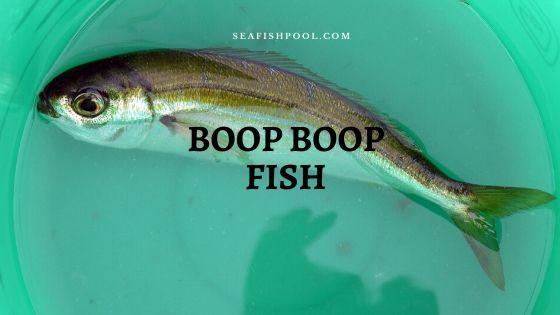 boop boop fish