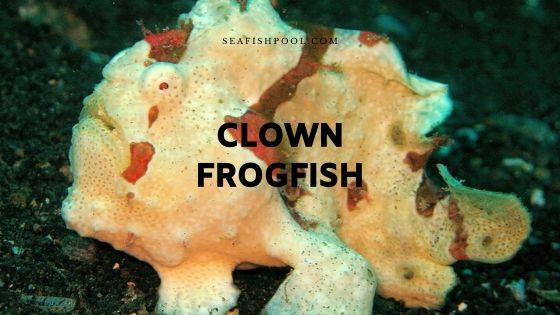 clown frogfish