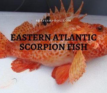 eastern Atlantic scorpion scorpaena scrofa fish