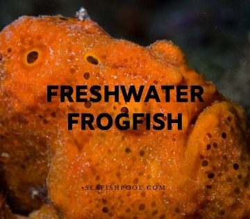 freshwater frogfish
