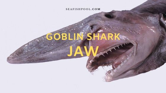 Goblin Shark Jaw