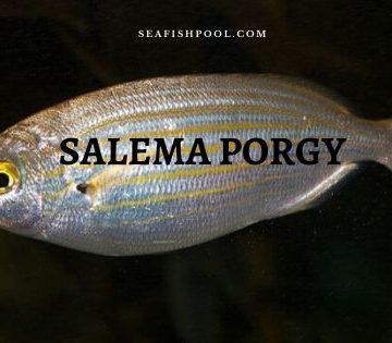 Salema porgy