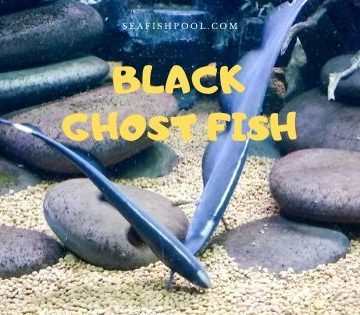 black ghost fish