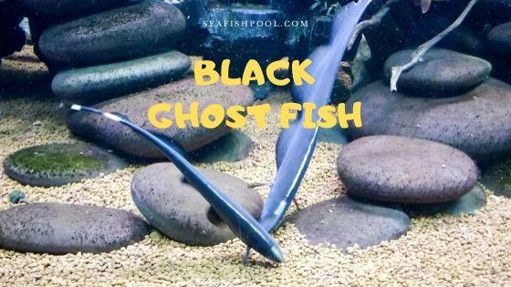 black ghost fish