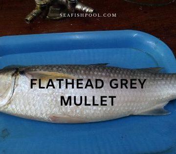 Flathead Grey Mullet