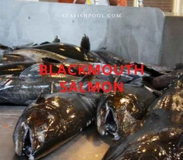 blackmouth salmon