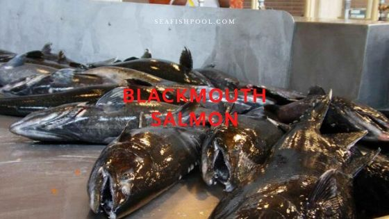 blackmouth salmon