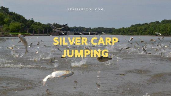 silver carp jumping