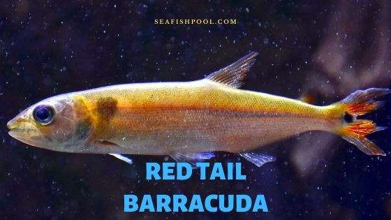 Red tail barracuda